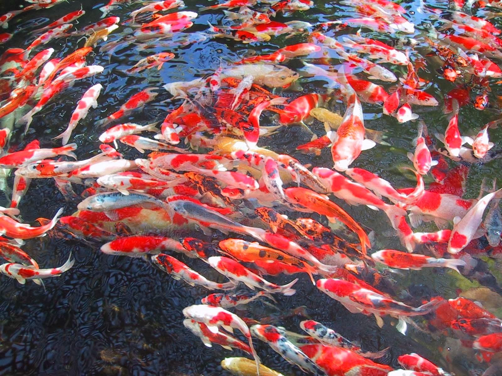 Om Hoby: Cara Ternak Ikan Koi