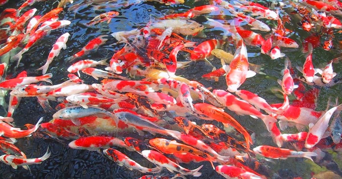 Cara Mudah  Budidaya dan Perawatan Ikan  Koi  Petani TOP