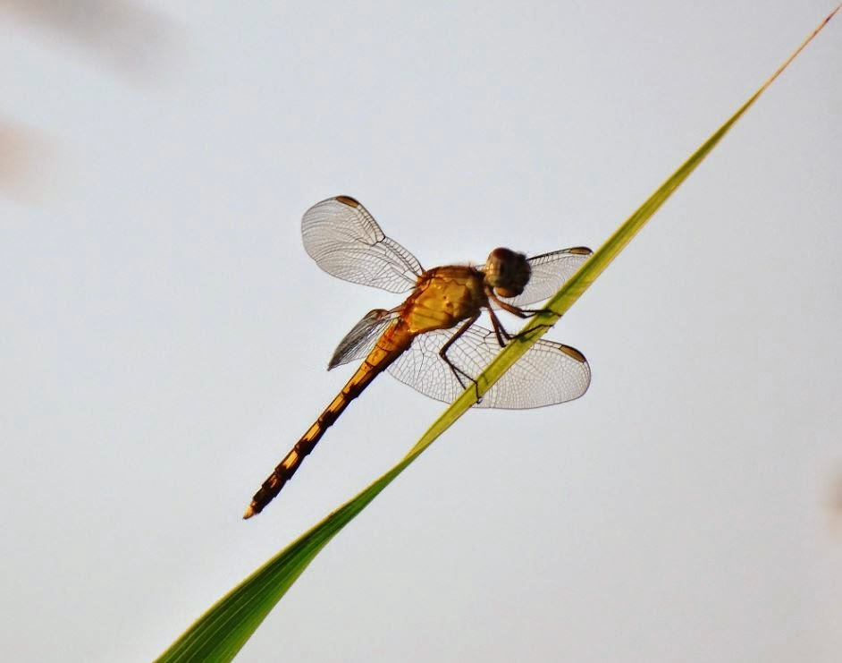 Dragonfly in profile on grass stalk (macro)
