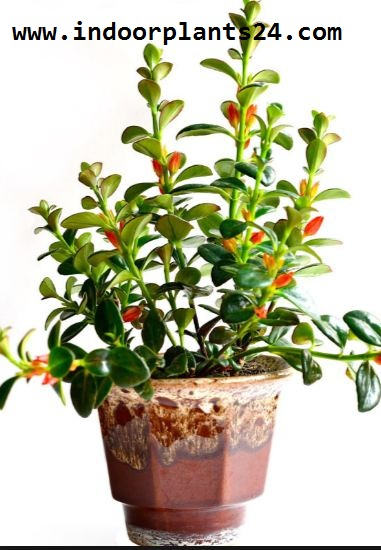 Nematanthus indoor house plant
