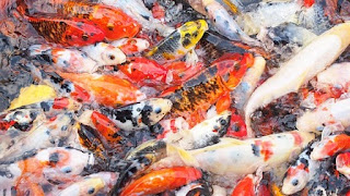 "How to Care Koi Fish : Pet Fish ""AQUARIUM"""