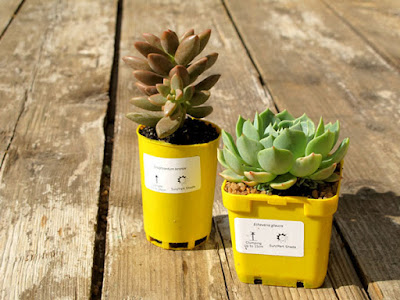 Succulent wedding favours in our yellow pots. Dress these up with hessian or lace for a budget friendly gift.
