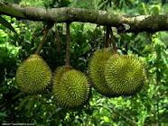 Benefits Of Durian Fruit