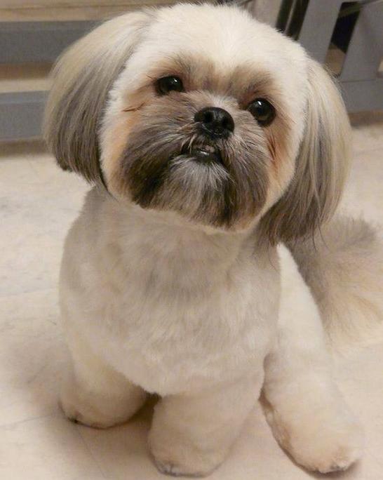 morsorosso: razze canine che non perdono pelo