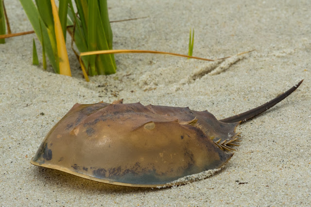 Horseshoe Crab Shell, Monomoy National Wildlife Refuge