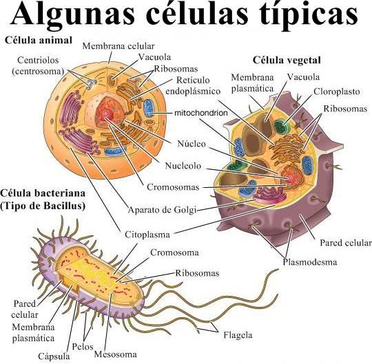 Las células animales y las células vegetales y bacterianas
