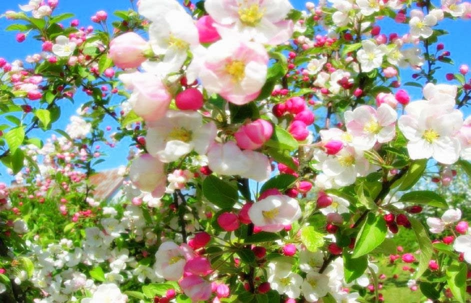 tree-flowers-wallpapers