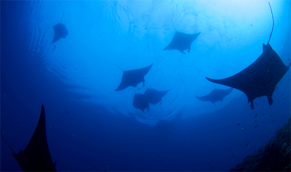 raja ampat island, pari manta fish, tourist attraction