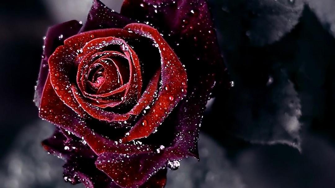 Dark Roses Hd Wallpapers: My Aids: Red-Rose-dark-Flower-Background-HD-Wallpaper
