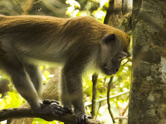 Monkey at MacRitchie Reservoir in Singapore