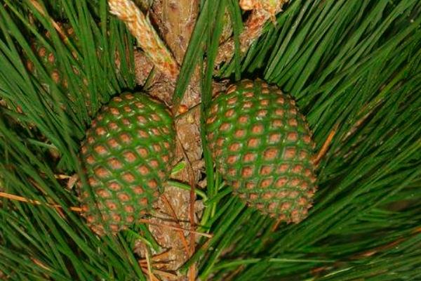 Las piñas del pino de monterrey, Pinus radiata, se caracterizan por su marcada simetría