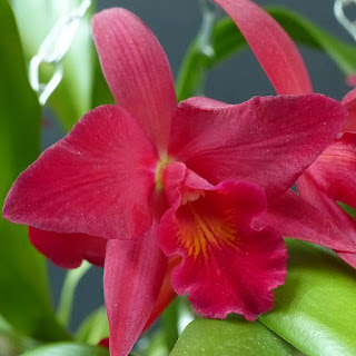 Sophrolaeliocattleya Jewel Box - Slc Jewel Box - Cattlianthe Jewel Box