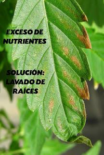 Exceso de nutrientes en el sustrato