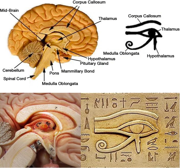 WIFI today: The Pineal Gland - What is it?