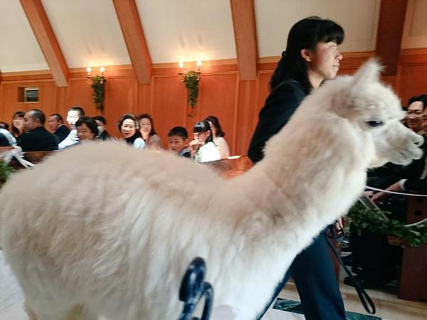 Lạc đà trắng đóng vai trò chứng hôn trong đám cưới tại Nhật Bản