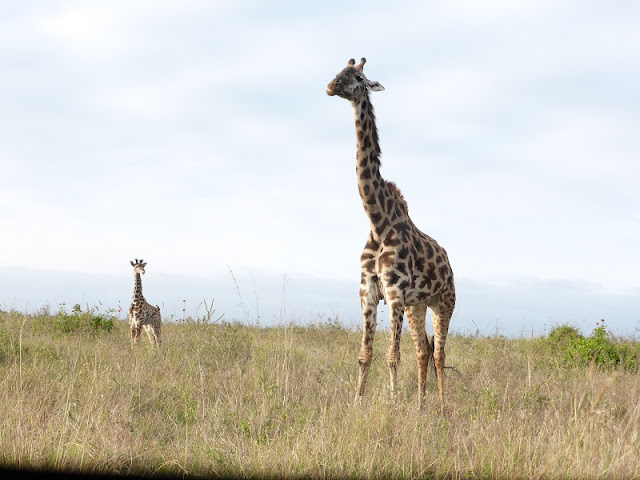 Nairobi National Park, jirafas