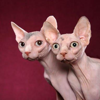 sphynx-cat-picture-3.jpg
