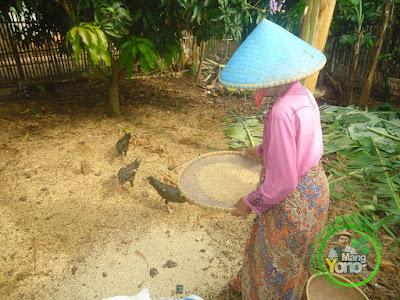 """FOTO 1 :  Proses Pembersihan Gabah Untuk Benih Padi  Secara Tradisional (Seed Cleaner) Menggunakan """"Nyiru"""""""