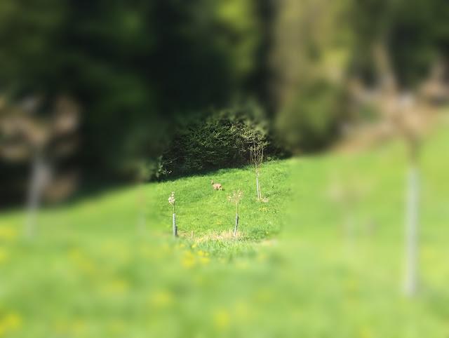 Das Reh in der Nähe des Waldes