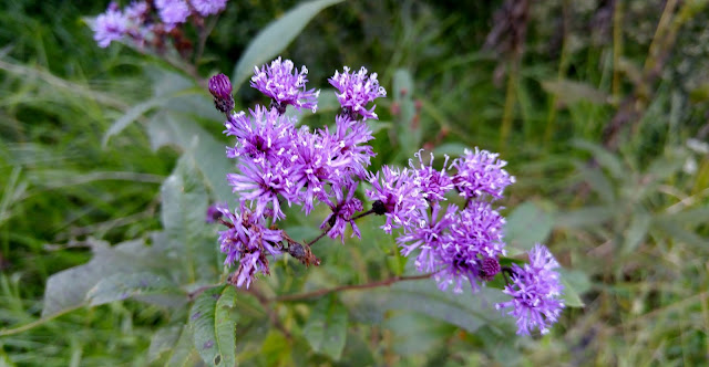 Purple wildflowers by our pond #fall #flowers