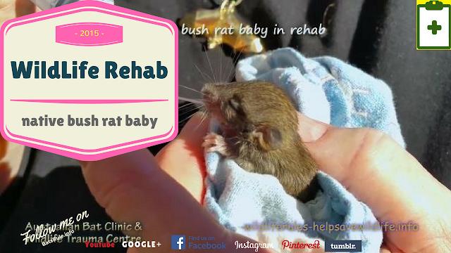 rehab baby native bush rat