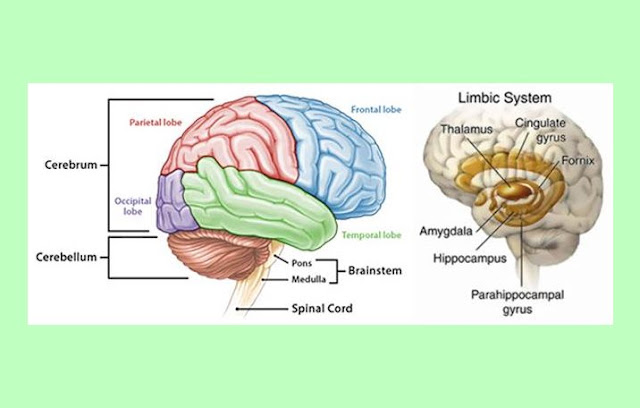 Lobus Otak, Otak Besar, Otak Kecil, Batang Otak, Sistem Limbik