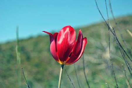 Tulipani i Shqiperise