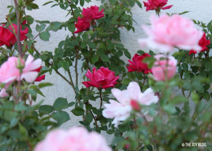 Container-grown Roses In Bloom // www.thejoyblog.net