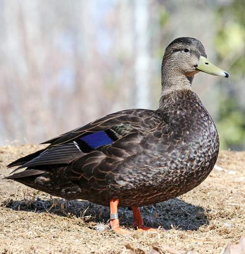 Birds of North America - Photo of American black duck - Anas rubripes