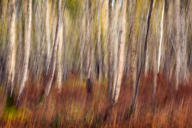 Impression of silver birch woodland at Holme Fen in Canbridgeshire