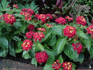 Lantana Red Green Fingered Blog