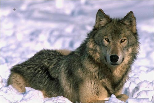 Wolf Animal Wildlife