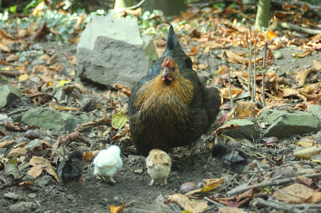 Mother hen digging for food with chicks
