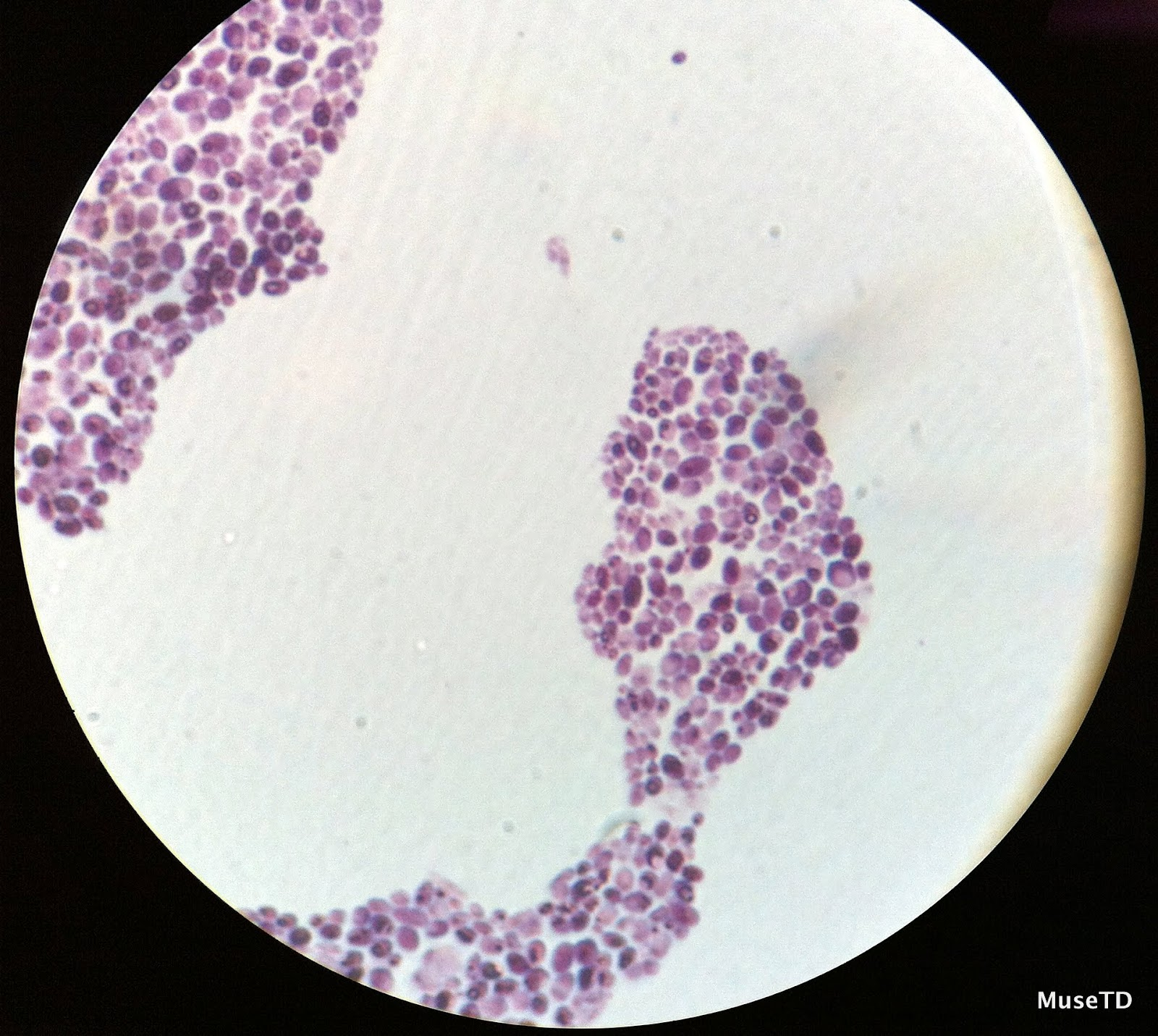 yeast cell slide - photo #6