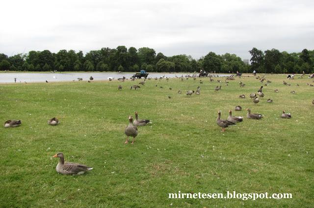 Лондон - утки и гуси у озера