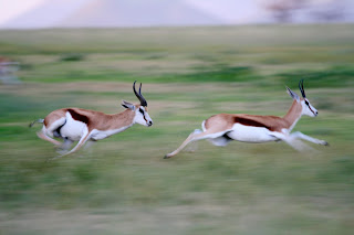 gazelles running