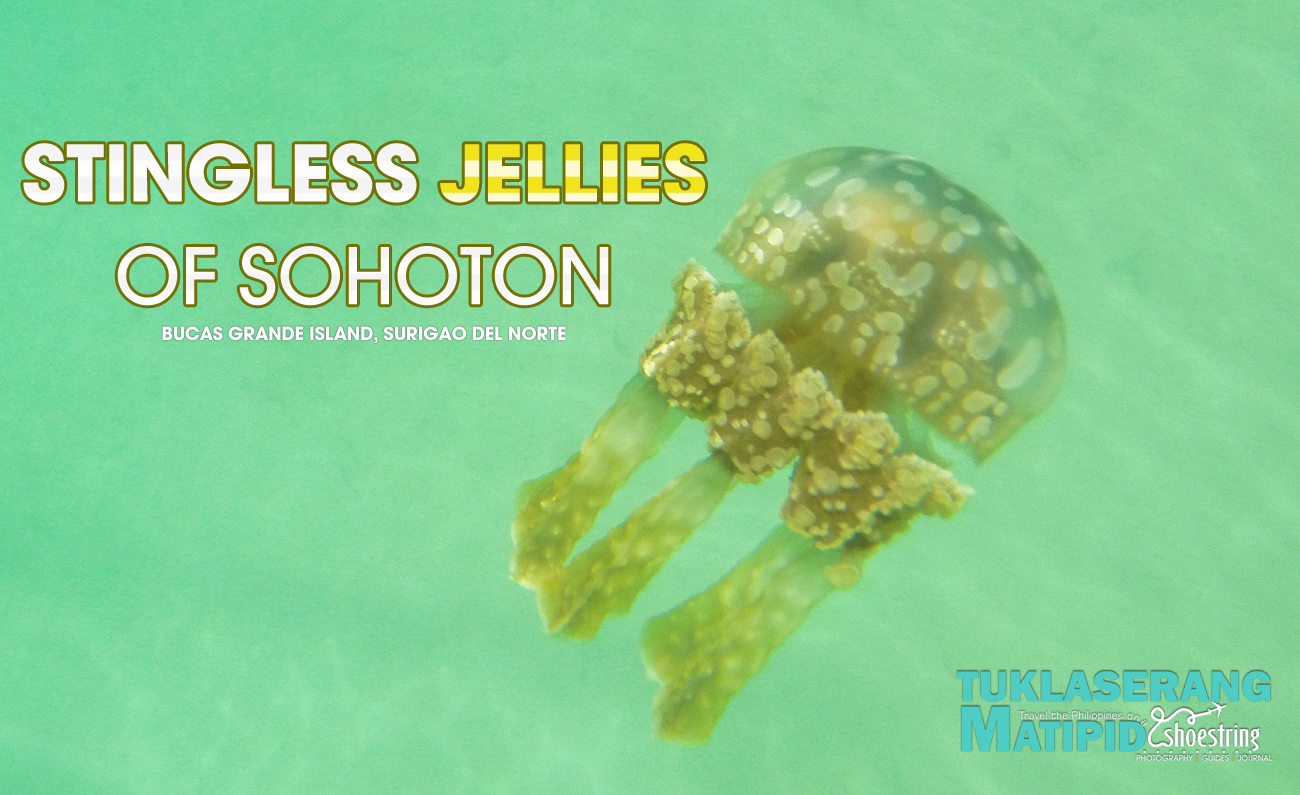 Non-stinging jelly fish of Sohoton