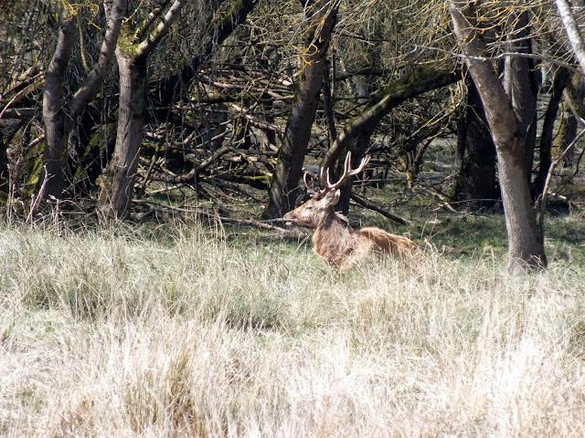 ciervos en los humedales de Vitoria