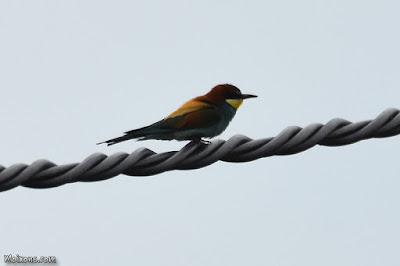L'abellerol, un dels nostres ocells més espectaculars