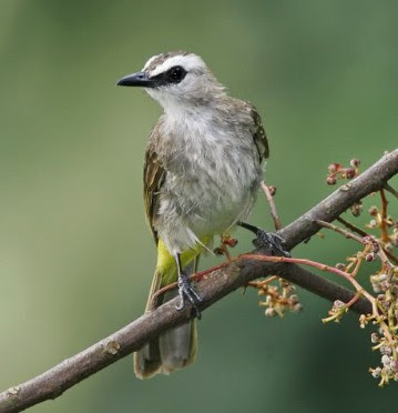 Download Suara Burung Trucukan Ngerol Panjang Masteran