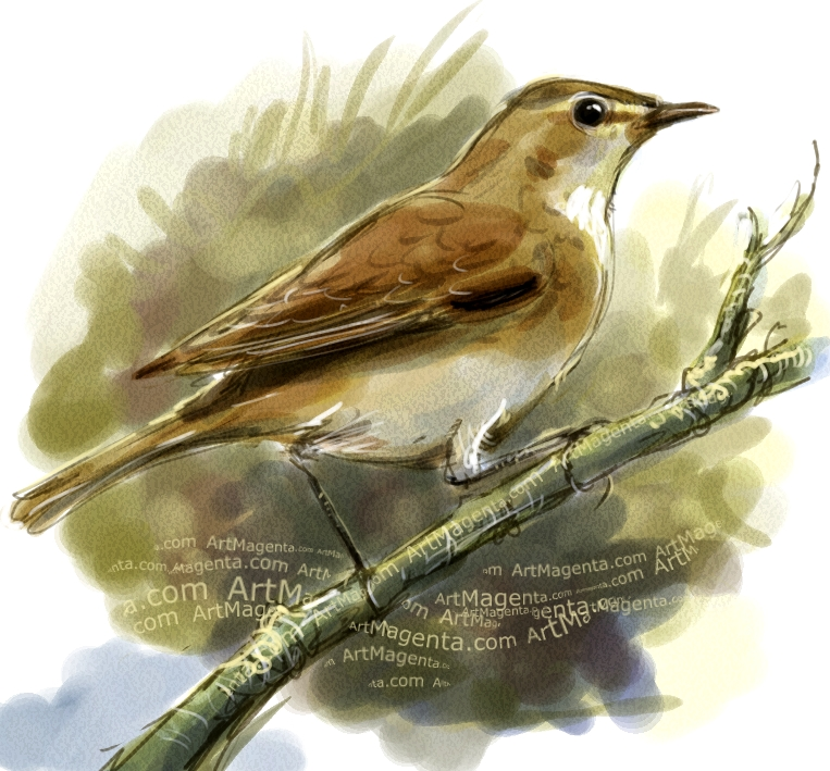 Blyth's reed warbler sketch painting. Bird art drawing by illustrator Artmagenta