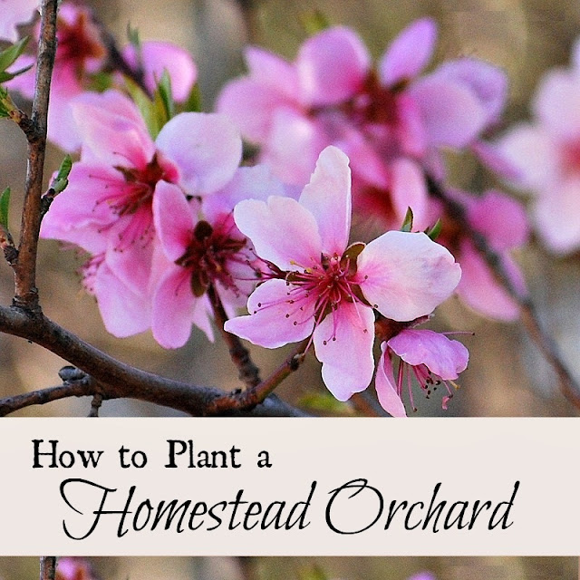 How to plant an orchard on your homestead.