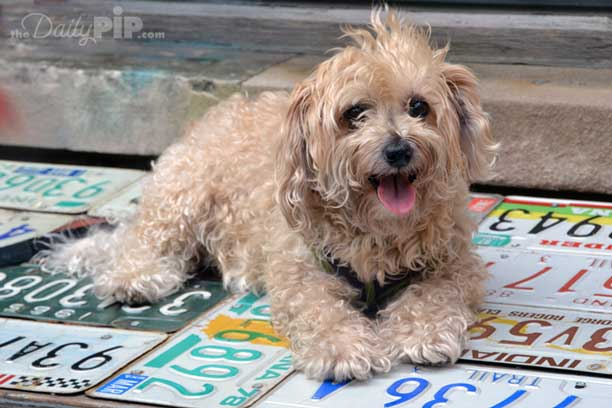 Ruby, the rescued Yorkie-Poo takes in some sunshine and counts her blessings and her issues