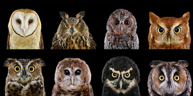 Gambar jenis jenis Burung Hantu (Owl)