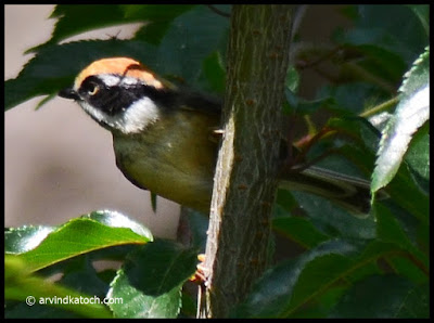 Black-throated Tit, Tit,