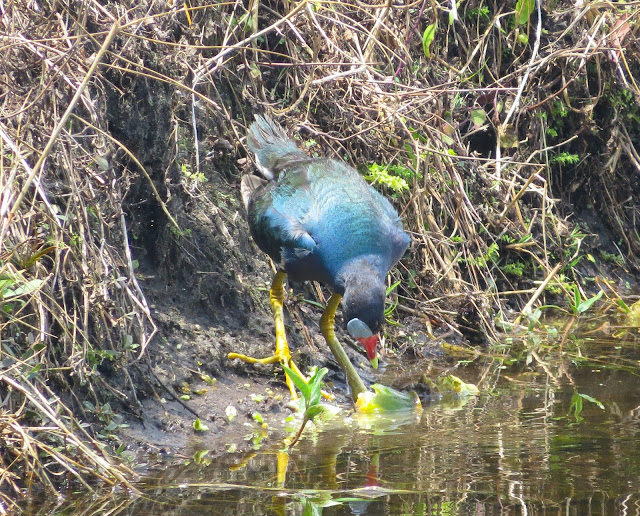 American Purple Gallinule - Wakodahatchee Wetlands, Florida