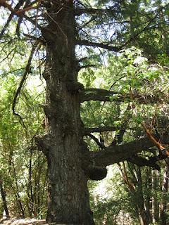 Old growth Douglas fir, Castle Rock State Park, Los Gatos, California