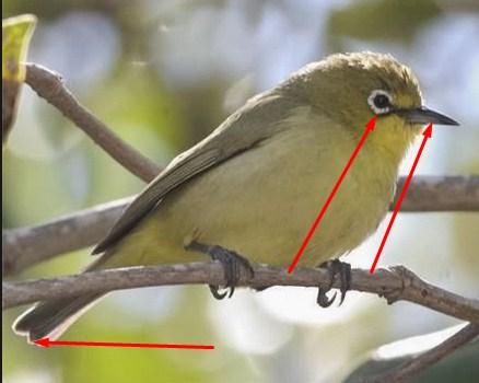 Trik Ampuh Membedakan Jantan Dan Betina Burung Pleci Kacamata Kicau Mania
