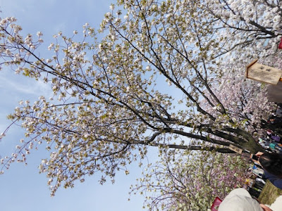 大阪造幣局 桜の通り抜け 水晶