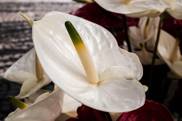 ý nghĩa hoa hồng môn trắng